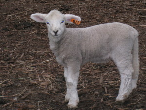 Molly's Melissa, last lamb of 2008.  A beauty.