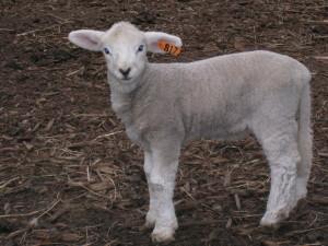 Molly's Melissa, last lamb of 2008.  A beauty.