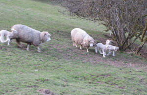 Moms and lambs heading in for dinner