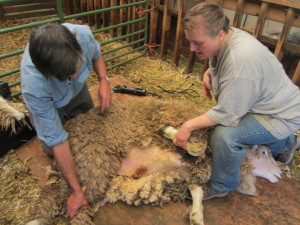 Shearing Robert is a team effort--Beth clipping, John assisting.