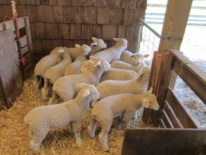 Lambs at the end of March, about 4-6 weeks old.