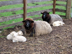 Ruth is in front; she has more brown in her fleece.  Roberta has lovely shiny silver tones.