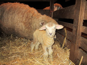 Clarissa's ewe lamb, about an hour old