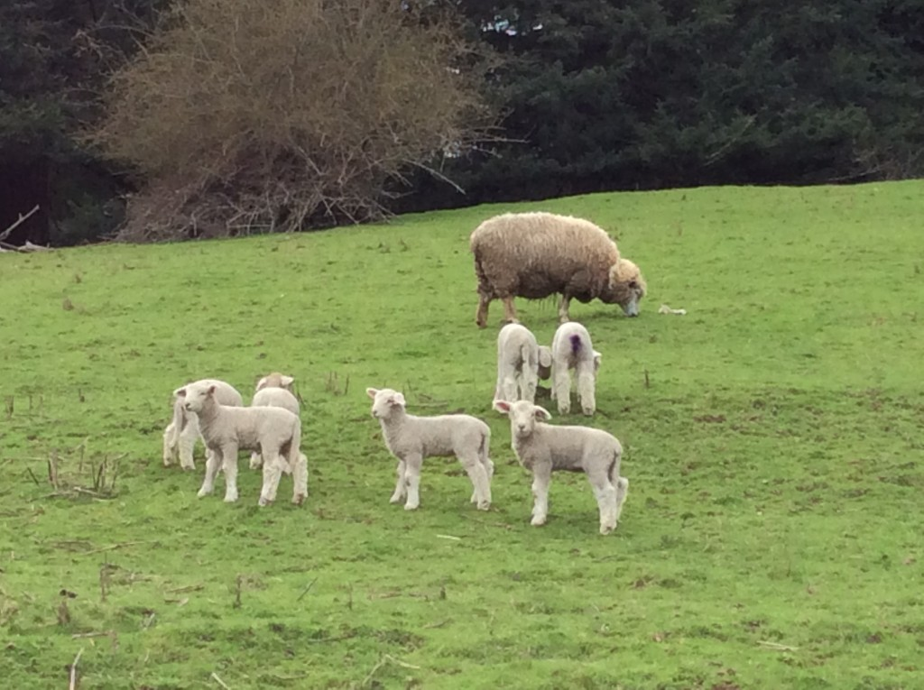 A pack of lambs with a watchful ewe nearby. 2-3 weeks old.